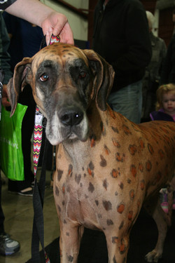 Spotted Great Dane