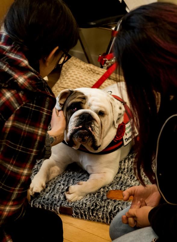 HANK (English Bulldog)