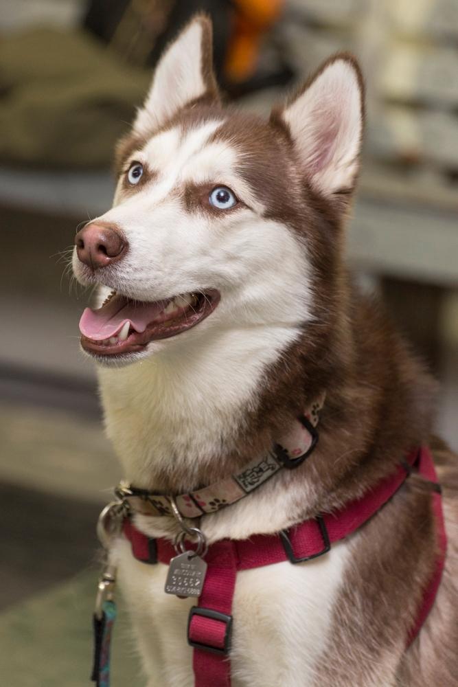 ila (Siberian Husky)