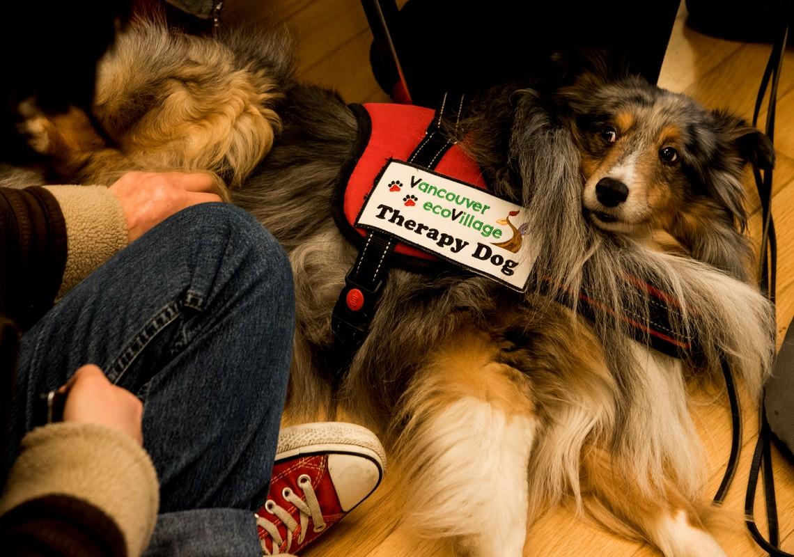 CHARLIE (Shetland Sheepdog)