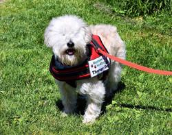 FURGEL (Terrier Cross)