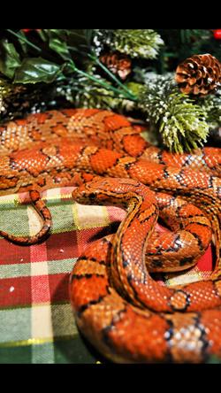 Orange Snakes
