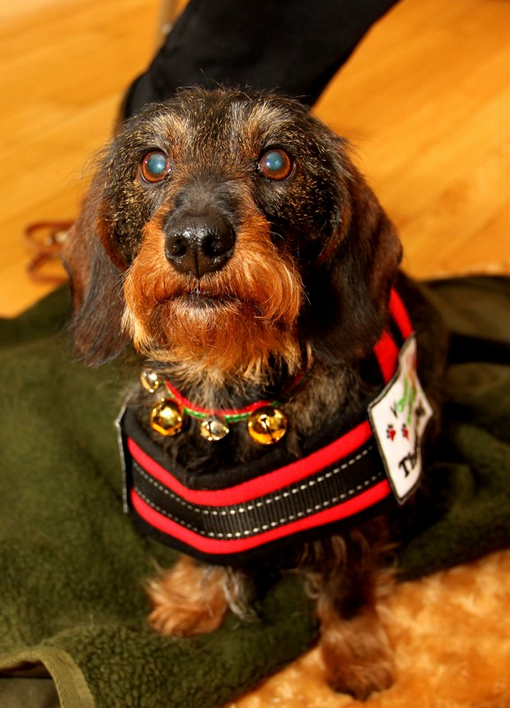 MAXI (Wire-haired Dachshund)