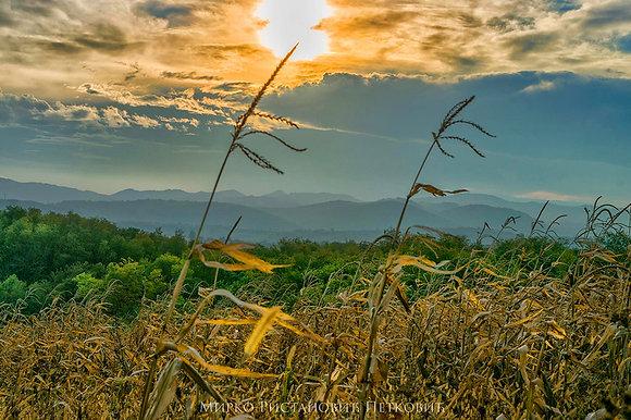 Corn on the Wind
