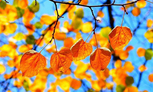 Autumn Ducats I