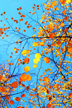 Autumn Ducats II