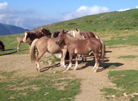 les chevaux de montagne a juzet