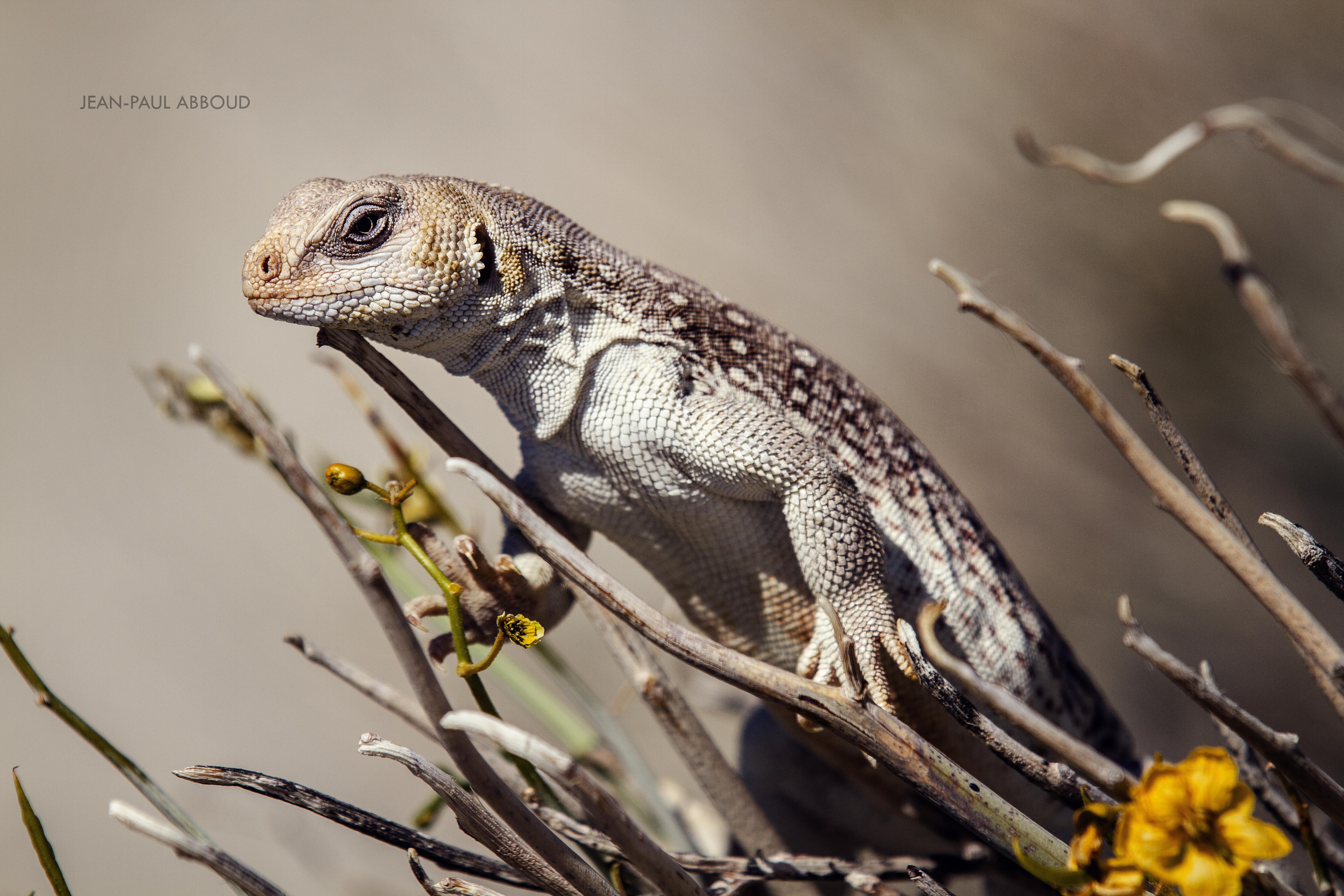 Lizard - Joshua Park, CA