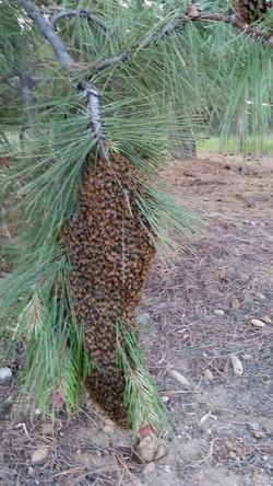 A big swarm.