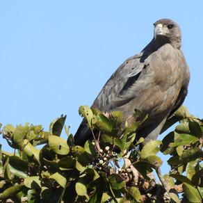 Águia cinzenta - Buteogallus coronatus