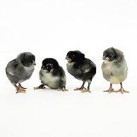 Olive Egger Chicks.jpg