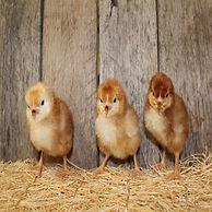 rhode island red chicks.jpg