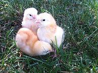 Golden star chicks.jpg