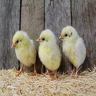 ideal 236 chicks.jpg