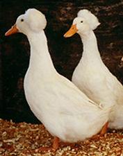 white crested.jpg