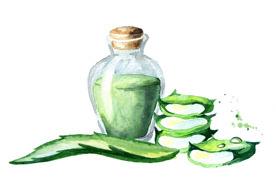 Aloe vera extract. Watercolor hand drawn