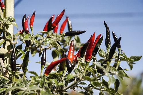 Black Cobra HOT Pepper Organic Seeds