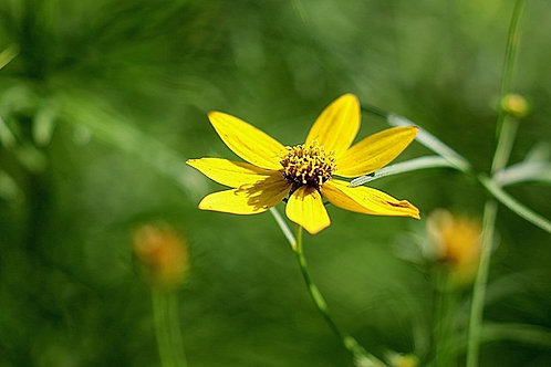Whorled Tickseed Coreopsis verticillata Sunflower Organic Naturally Grown