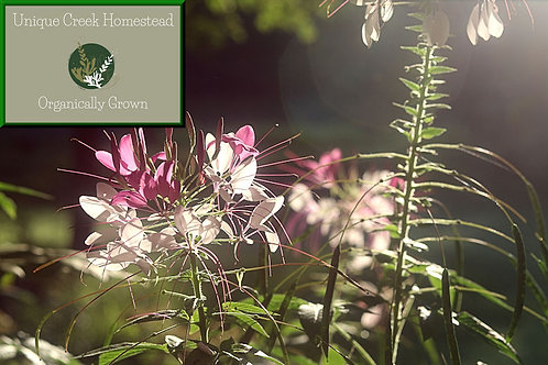 Spider Flower Cleome hassleriana Organic Naturally Grown