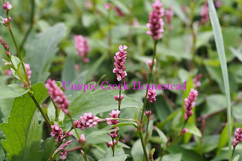 Oriental Ladies Thumb Persicaria longiseta Knotweed Organically Grown