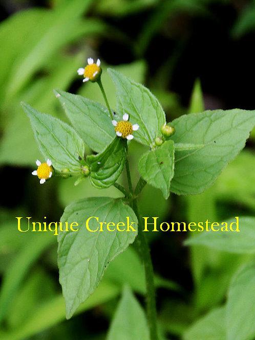 Gallant Soldier Herb Galinsoga parviflora Organically Grown