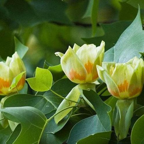 Tulip Poplar TREE Live Seedling Organic Naturally Grown
