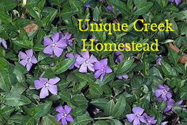 Common PERIWINKLE Live Plants Organic Naturally Grown