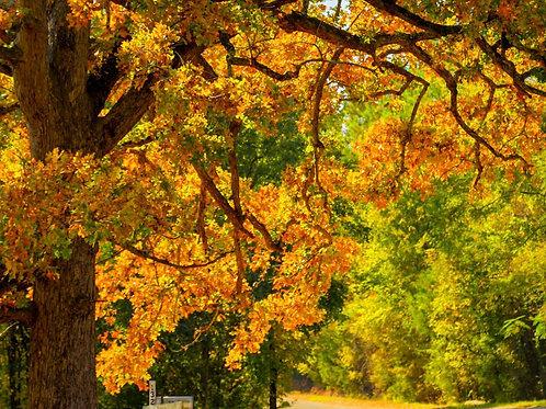 ENGLISH OAK TREE Live Seedling Organic Naturally Grown