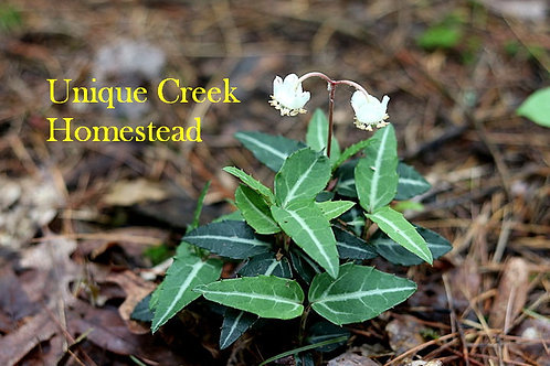 Wild Striped Wintergreen Live Plant Seedling Organic Naturally Grown
