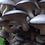 Thumbnail: Organic Dried Gourmet Gray Oyster Mushrooms