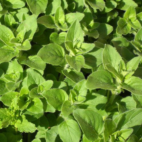 GREEK OREGENO Mint Garden Herb Cooking Spice Organically Grown