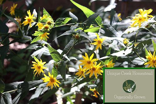 Woodland Sunflower Helianthus divaricatus Organic Naturally Grown