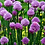 Thumbnail: Common CHIVES Allium schoenoprasum Herb Organically Grown