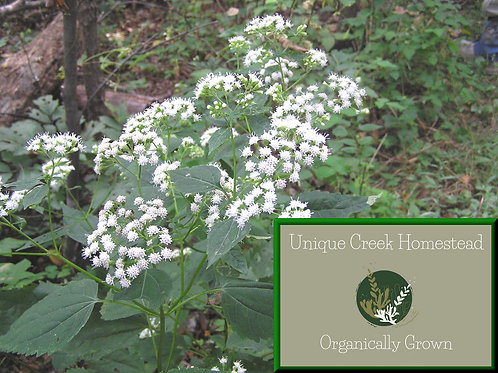 White Snakeroot Ageratina altissima Herb Live Plants Organic