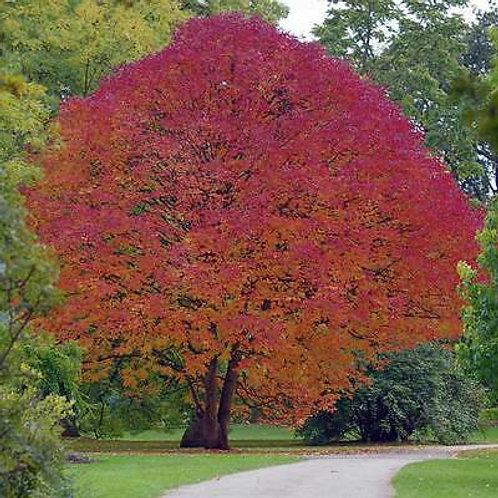 WHITE ASH TREE Live Seedling Organic Naturally Grown