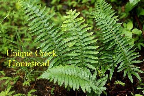 Christmas Ferns Live Plant Organic Naturally Grown