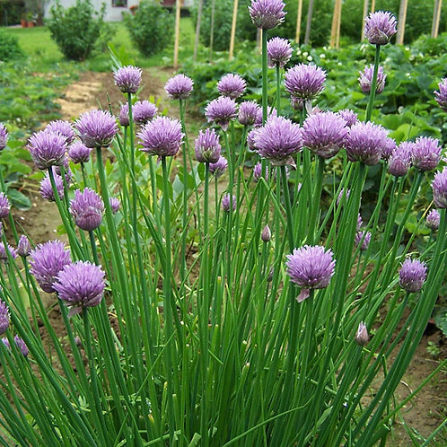 Common CHIVES Allium schoenoprasum Herb Organically Grown