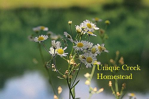 Erigeron annuus Annual Fleabane Daisy Flower SEEDS Organic Naturally Grown