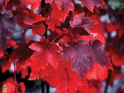 RED MAPLE TREE Live Seedling Organic Naturally Grown