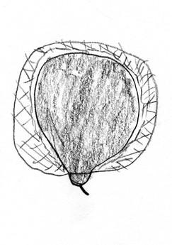 Seed Drawing 09 Rattle.jpg