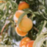 Apricot square - Hard Bar.jpg