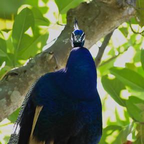 Male Peafowl