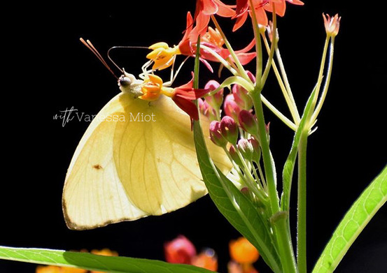 Yellow Sulfur Butterfly