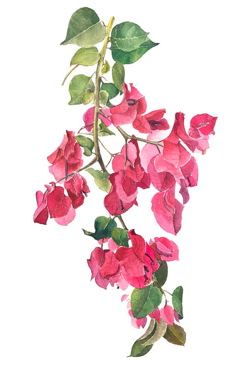 Aquarela Bougainvillea