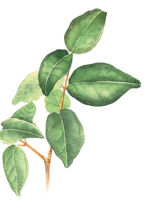Aquarela Folhas Verdes
