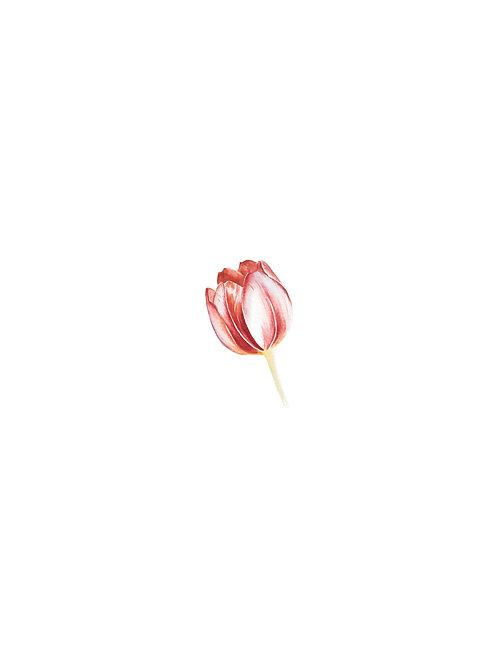 Aquarela Tulipa Vermelha