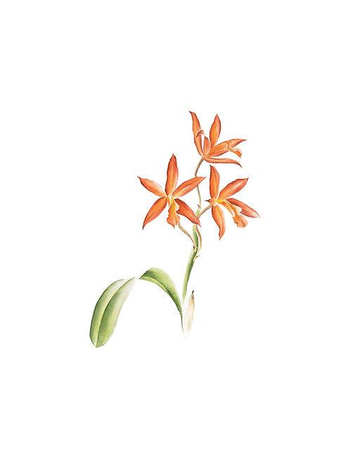 Aquarela Orquídea Laranja