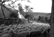 The Sheep | Les Moutons