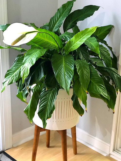 Spathiphyllum ( Peace Liliy) plant