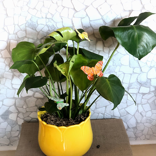 Sunny Philodendron plant